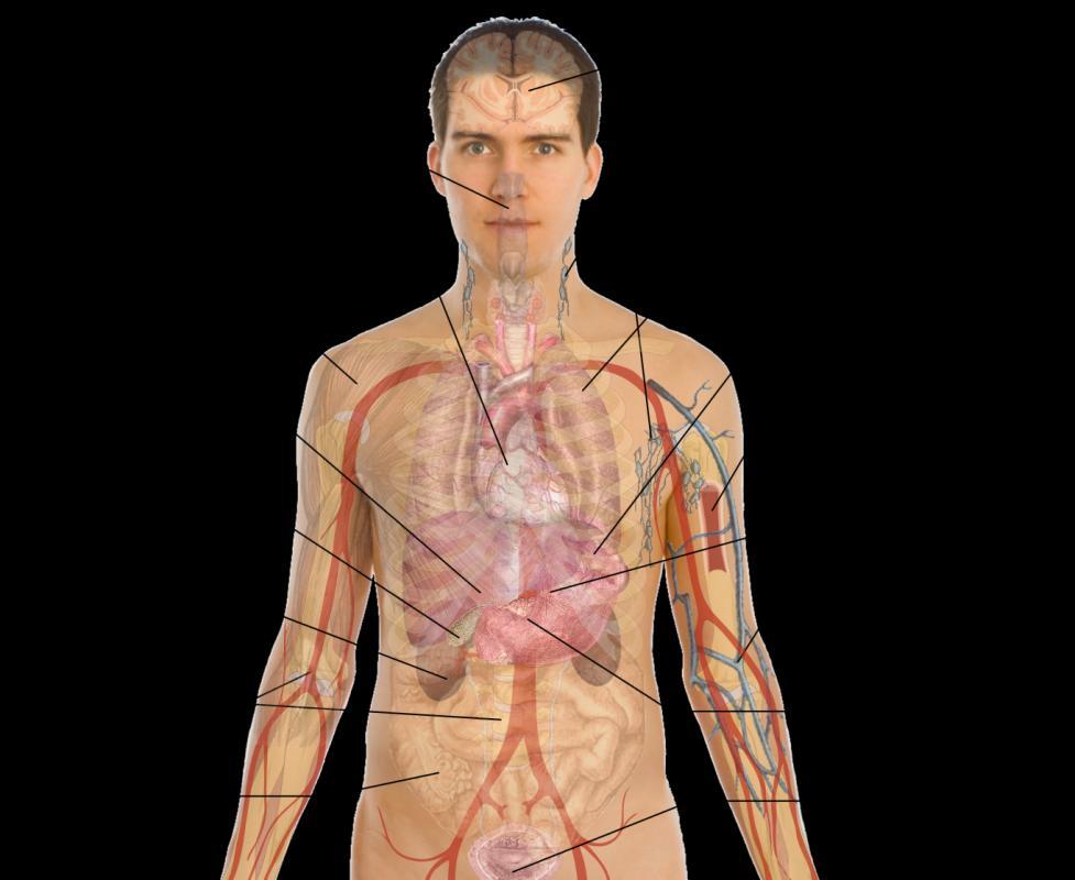 Body Organs Diagram | Template Business