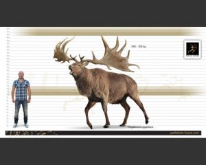 height vs weight chart megaloceros size x