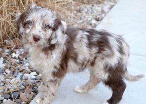 puppy bill of sale redmerleminiaussiedoodlepuppies